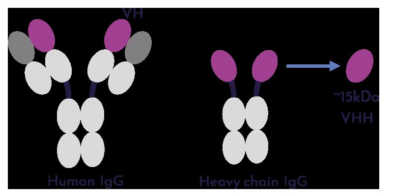 VHH Antibody Libraries